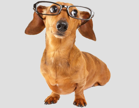 dachshund with glasses